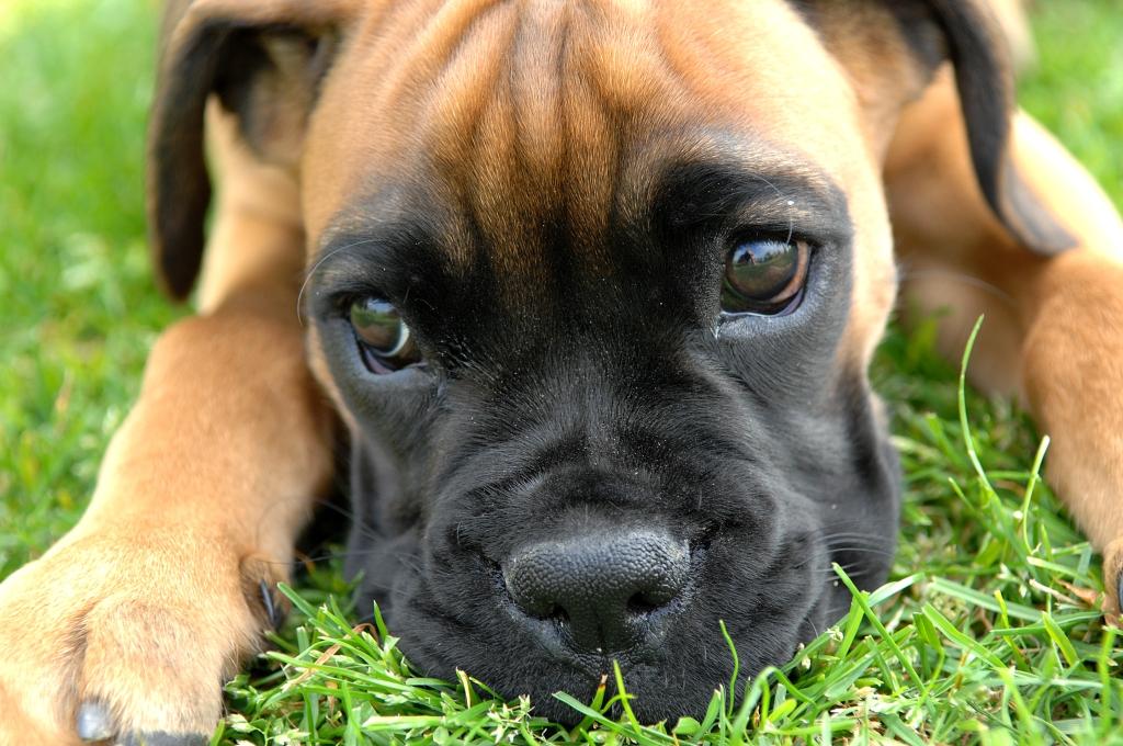Boxer_puppy_fawn_portrai